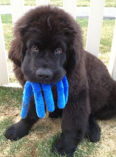 Silly Newfie Puppy! Thinks he's Davy Jones or Blue Beard the Pirate!