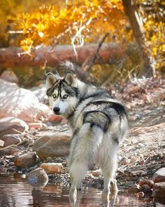 Beautiful husky on an autumn hike