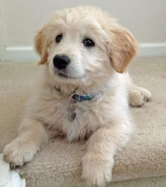 Dylan the Goldendoodle -- Puppy Breed: Golden Retriever / Poodle