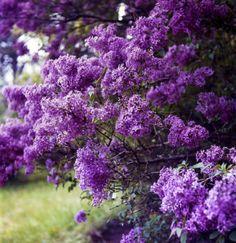 Buy Flowering Shrubs at TN Tree Farm Nursery | Flowering shrubs at tntreefarmnursery.com