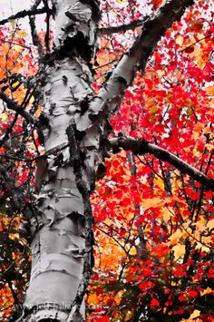 Fall gallery Maine - New England fall foliage Maine In The Fall, New England Fall Foliage, Maine New England, Autumn Lights, Vermont, The Great Outdoors, Mother Nature, Beautiful, Gallery