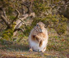 Havergate Island Hare by Matty Fidler Salt Marsh, March Hare, Unusual Plants, Peaceful Places, Nature Reserve, Kangaroo, Bunnies, Cute Animals, Wildlife