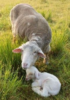 For my sister, Vicki, who loves her lambys (sp)her two legged and four legged.