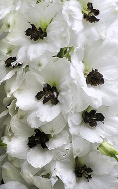 100 Seeds A Pack Rocket larkspur seed Consolida Ajacis Delphinium Flowers potted bonsai DIY home garden Black Flowers, Beautiful Flowers, Beautiful Gorgeous, Angel Flowers, Bouquet Flowers, Gothic Garden, Delphiniums, Delphinium Flowers, Black Garden
