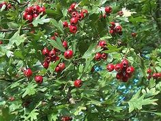 Hawthorn berries and blossoms ~ Premier tonic for heart and circulatory system. Hawthorn gives the heart a healthy makeover, making it stronger and assisting it to work more efficiently and effectively on less oxygen and less glucose fuels. With persistent use of the herb, Hawthorn's tonic effects are achieved gradually, but the results are enduring.