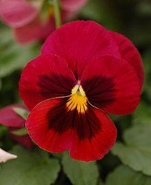 Viola -tarhaorvokki