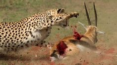Most Amazing Animals Attacks: Leopard Chasing Antelope | Antelope Vs Che...