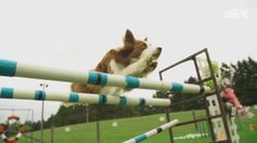 DOGMAN VS DOG AGILITY CHALLENGE. Dog Park Tales, web video series, host, challenges dogs on a dog agility course