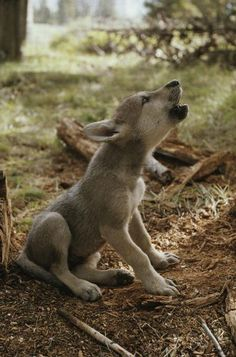 Jim and jamie dutcher sawtooth mountain Wall Decals A Nine-week-old Gray Wolf Pup - 18 inches x 12 inches - Peel and Stick Removable Graphic Wallmonkeys Wall Decals http://smile.amazon.com/dp/B00E8QI5C2/ref=cm_sw_r_pi_dp_XE59tb040BRF5