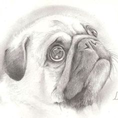 Drawing of Pug. >artist unknown