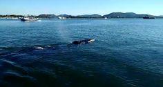 Baleia jubarte vista da ponta do vigia na  Praia de Armação do Itapocorói localiza-se em Penha, litoral Norte catarinense.