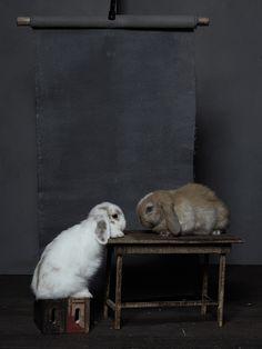 Noah and Daniel Bunny Photography Baby Animals, Cute Animals, Holland Lop, Cute Baby Bunnies, House Rabbit, Bunny Art, My Animal, Bunny Rabbit, Animal Photography