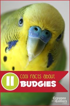 Learn some cool things about these cute little pet budgies also known as parakeets! Parakeet Food, Budgie Parakeet, Parakeets, Parrots, Budgies Care, Breeding Budgies, Cute Birds, Amigurumi, Bebe