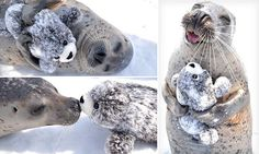 An infatuated seal has been snapped hugging a toy version of itself in an adorable selection of photos after zoo staff at Mombetsu Land, Japan, gifted him the fluffy animal.