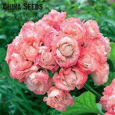 Garden Geranium Seeds Rare And Beautiful Pot Flower Plants Pelargonium Flowers For Garden Decoration Bonsai Seed 100pcs Semillas