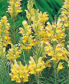 Torskemund, Almindelig Yellow Perennials, Sun Perennials, Pretty Flowers, Wild Flowers, Flower Power, Painting, Gardening, Beautiful, Plants