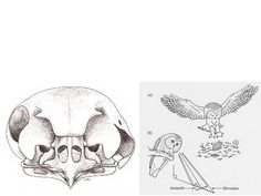 Some owls have asymmetrical ear openings, allowing them to accurately note differences in the intensity and timing of sounds in both the horizontal (azimuth) and vertical (elevation) planes.   They can locate a mouse by its sound.