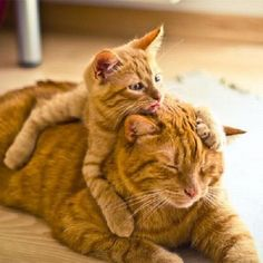 """orange kittens  Baby kitty: Oh mama, I love you! What a nice pillow you make!   Mamma cat: """"Would you get off my back kid?!?""""  Baby kitty:  Let me give you a kiss...  Mamma cat:  Oh, okay, I love you too..."""