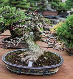 Brilliant Bonsai Plant Design Ideas For Garden - Andaziyar Bonsai Tree Care, Bonsai Tree Types, Bonsai Plants, Bonsai Garden, Succulents Garden, Bonsai Forest, Air Plants, Cactus Plants, Mini Bonsai