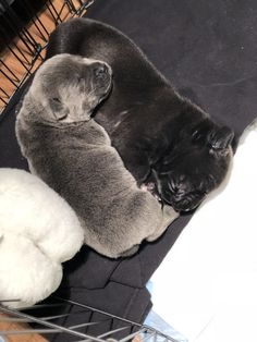 1 week old CANE CORSO Blue Cane Corso, Mans Best Friend, Best Friends, Cane Corso Mastiff, Pet Stuff, Bullies, Canes, Big Dogs, Adorable Animals
