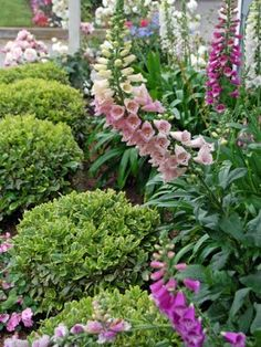 {hedging & foxgloves behind  ❀ ~  ◊  photo via 'my painted garden' blogspot}