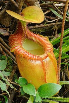 8 Best Pitcher Plants Nepenthes