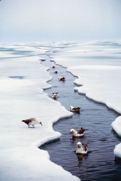 Birds taking a dip in the Northwest Passage, Canada