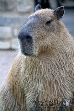 pet capybara | Tumblr