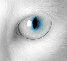 White cat blue eye ❖Blanc❖ ❷