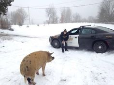 Police Officers Respond To A Call For A Lost Pig Looking For Her Family