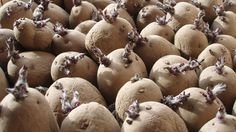 Allotment Diary : Chitting Seed Potatoes : How to pre sprout your spuds before planting Grow Boxes, Allotment, Young Living Essential Oils, Raised Garden Beds, Grow Your Own, Lawn And Garden, Organic Gardening, Container Gardening, Sprouts