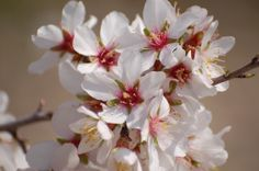 Unbelivable beauty - blooming almond trees in Cyprus. Blooming almond festival takes place every year in February.