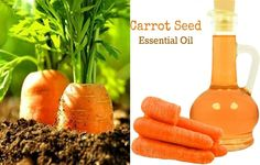 The Top 7 benefits of carrot seed essential oil, the great yet unknown secret of health and beauty - Carrot seed essential oil is a light yellow oil which has been steam distilled from the seeds of a carrot plant called Daucus Carota. Women all over the world use it for their health and beauty. If you are curios about its benefits, this article will shed some light on them. –   It helps... - Beauty, Benefits, Carrot, carrot seed, carrot seed essential oil, carrot seed e
