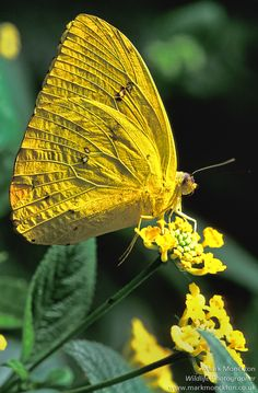 Orange Barred Sulphur butterfly... But he's yellow! :)