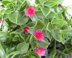 red apple iceplant