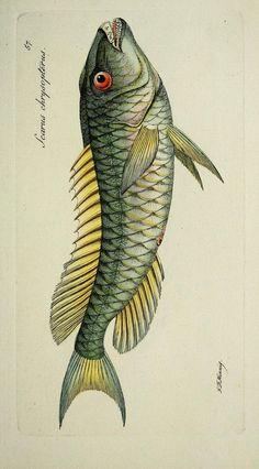 a840243412904da00c266afe6b6e7a60--fish-illustration-fish-art.jpg 736×1,329 pixels
