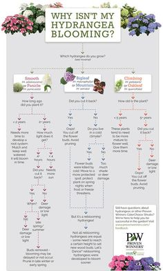 Are your hydrangeas not blooming? Follow along with this easy chart and diagnose the problem with your plants.