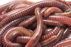 grow worms for fishing bait - tangle of earthworms