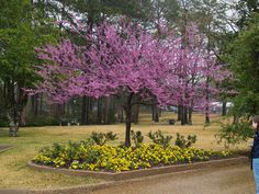forest pansey redbud tree photos | Forest pansy redbud tree in bloom