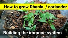 How to grow Dhania / coriander in self watering bottle did you know that Dhania / coriander builds up the human immune system? Grow fresh eat fresh and stay . Self Watering Bottle, Fresh Eats, Coriander, How To Stay Healthy, Healthy Eating, Make It Yourself, Plants, Projects, Eating Healthy