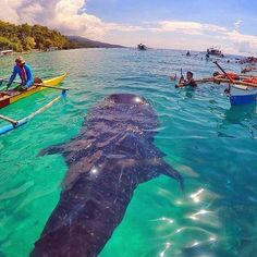 Whale Shark in Oslob, Cebu, Philippines Wow! Make sure to visit Oslob Cebu, Philippines. Voyage Philippines, Les Philippines, Philippines Travel, Places To Travel, Places To Go, Travel Destinations, Les Continents, Wale, Delphine