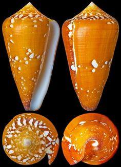 Conus crocatus Lamarck, 1810  -  C.Chen