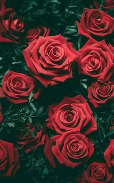 Nothing like red roses wallpaper