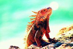Red Iguana at Cabo Rojo