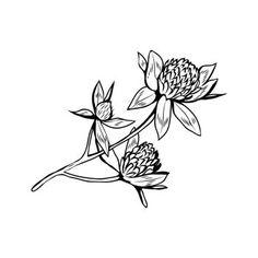 Image Details IST_21861_00377 - Clover flowers black and white illustration. Blooming honey plant with title Trefoil. Irish shamrock, floral luck symbol with three leaves. Botanical outlines sketch. Postcard design element. Clover in blossom black ink sketch Shamrock Tattoos, Clover Tattoos, Bloom Tattoo, Botanical Wallpaper, Postcard Design, Black And White Illustration, Outlines, Black Tattoos, Happy Life