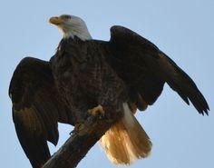 awesome eagle 38855 by jetskibrian