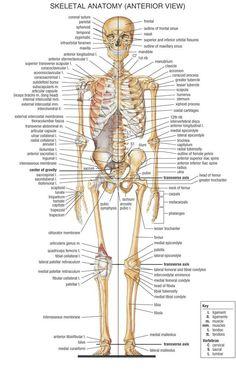 Skeleton , 6 Skeletal System With Labels : Skeletal System Front