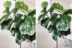 Is Trimming Brown Edges on Fiddles okay? — La Résidence · Plant Care Tips and More Fig Plant Indoor, Indoor Plants, Plant Delivery, Fiddle Leaf Fig, Natural Curves, Natural Shapes, Plant Care, Herb Garden, Houseplants