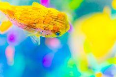 ハリセンボンとサンゴ礁