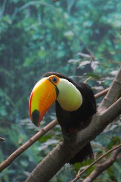 Curious Toucan